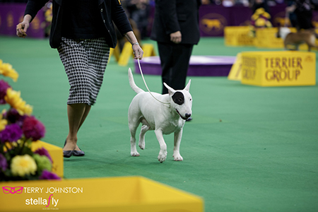 Terrier group kennel club